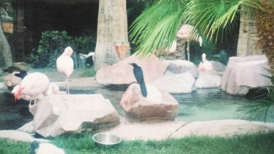 Flamingos at the Wildlife Habitat at the Flamingo Hotel and Casino in Las Vegas.