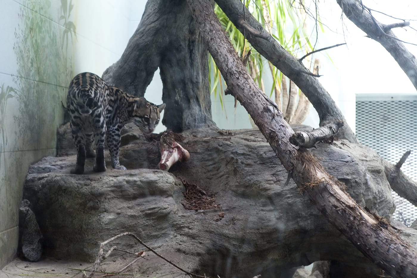Leopards at Woodland Park Zoo in Seattle, Washington