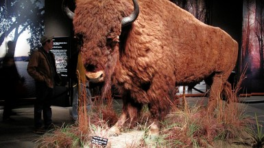 Buffalo at the Museum of Westward Expansion in the Gateway Arch in St. Louis, Missouri