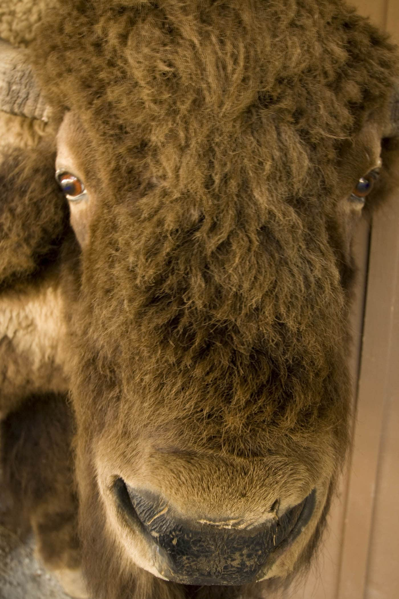 Buffalo at Wall Drug Store in Wall, South Dakota