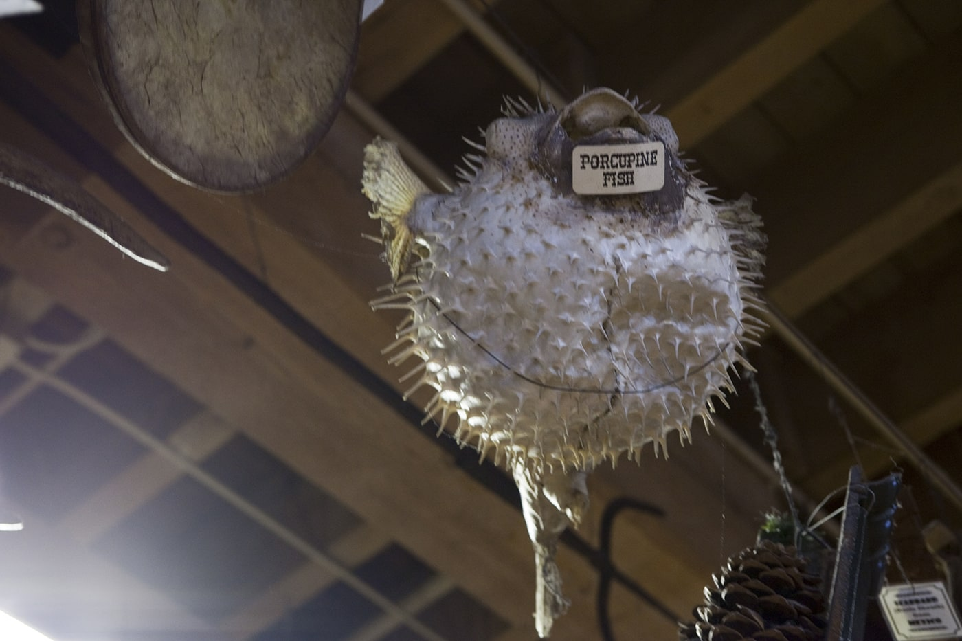 Porcupine Fish at Ye Olde Curiosity Shoppe in Seattle, Washington
