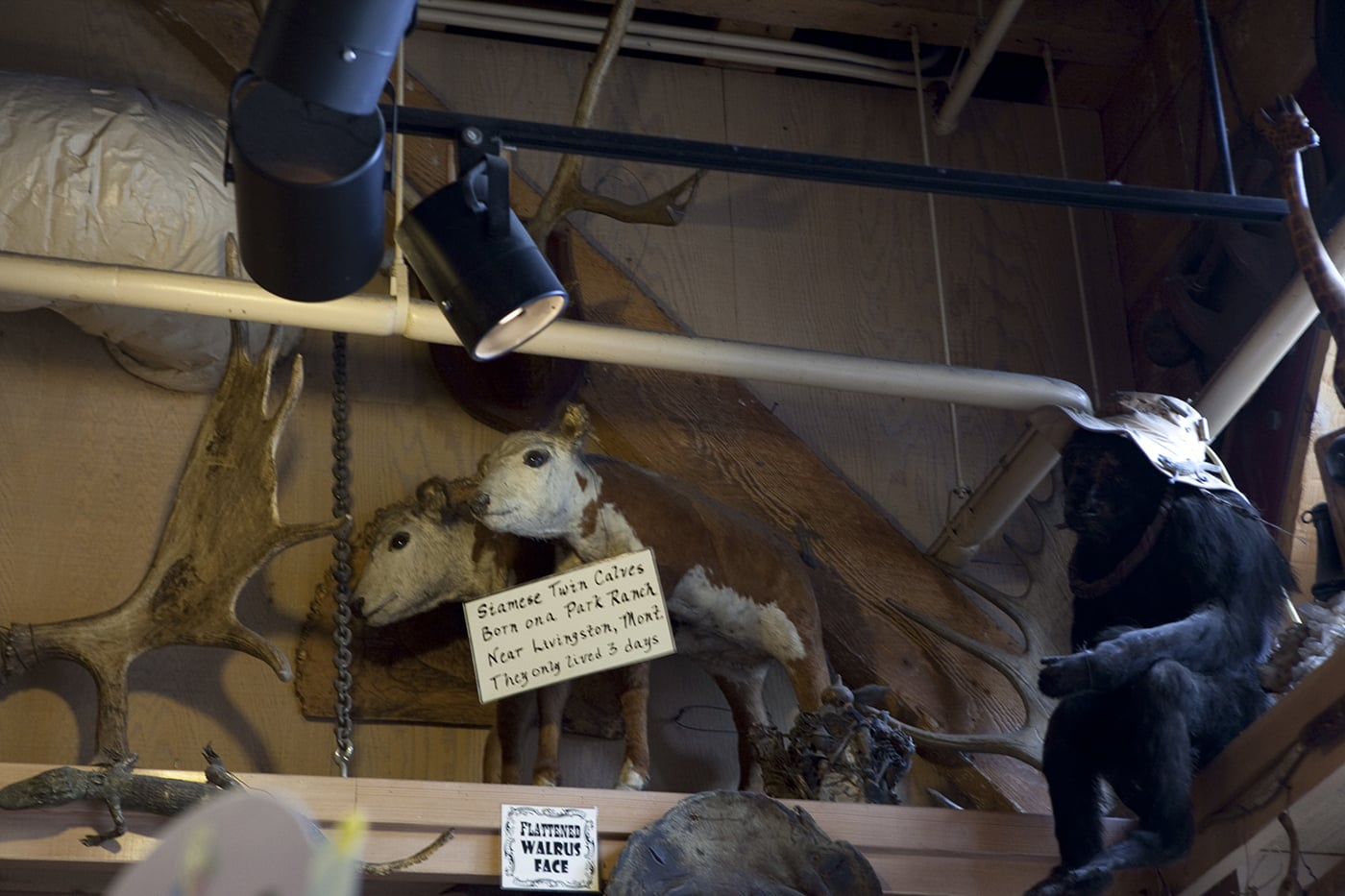 Siamese twin calves at Ye Olde Curiosity Shoppe in Seattle, Washington