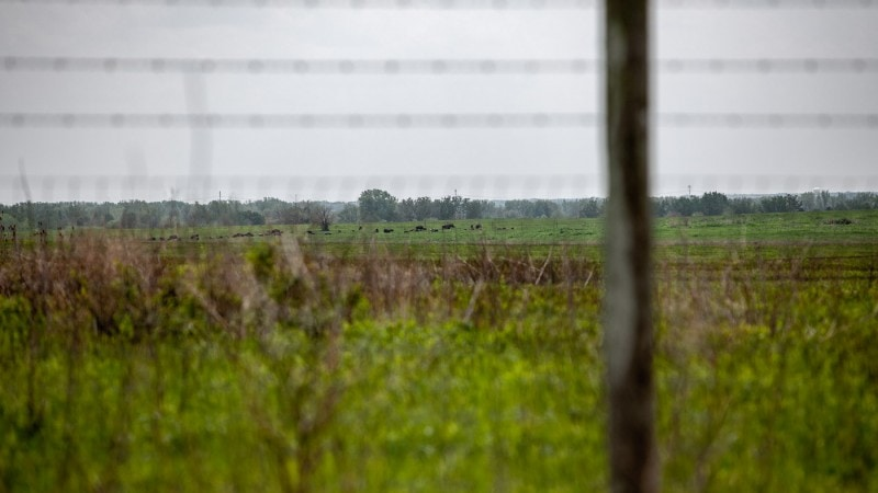 Bison in a field at Midewin National Tallgrass Prairie in Wilmington, Illinois. See Bison in Illinois.