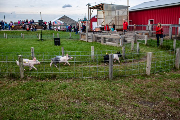 Pig races at Richardson Adventure Farm in Spring Grove, Illinois.