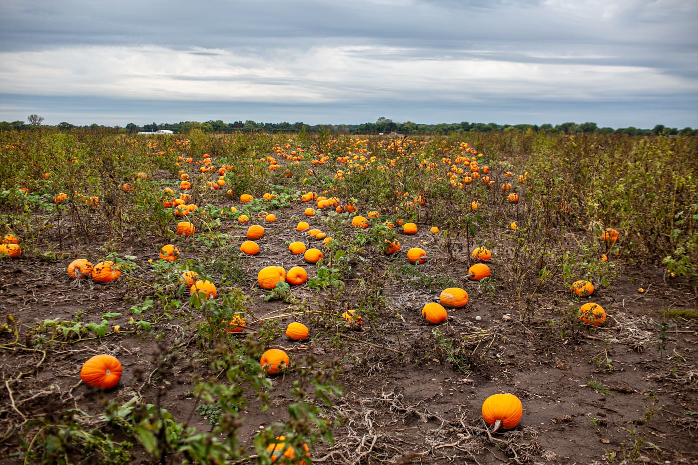 Pick your own pumpkin patch at Richardson Adventure Farm in Spring Grove, Illinois.