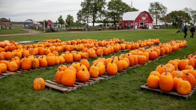 Pumpkin patch at Richardson Adventure Farm in Spring Grove, Illinois.
